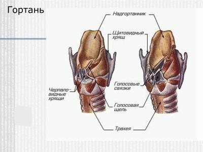 Состав органа