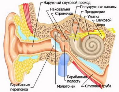 Анатомия органов слуха и возможные заболевания